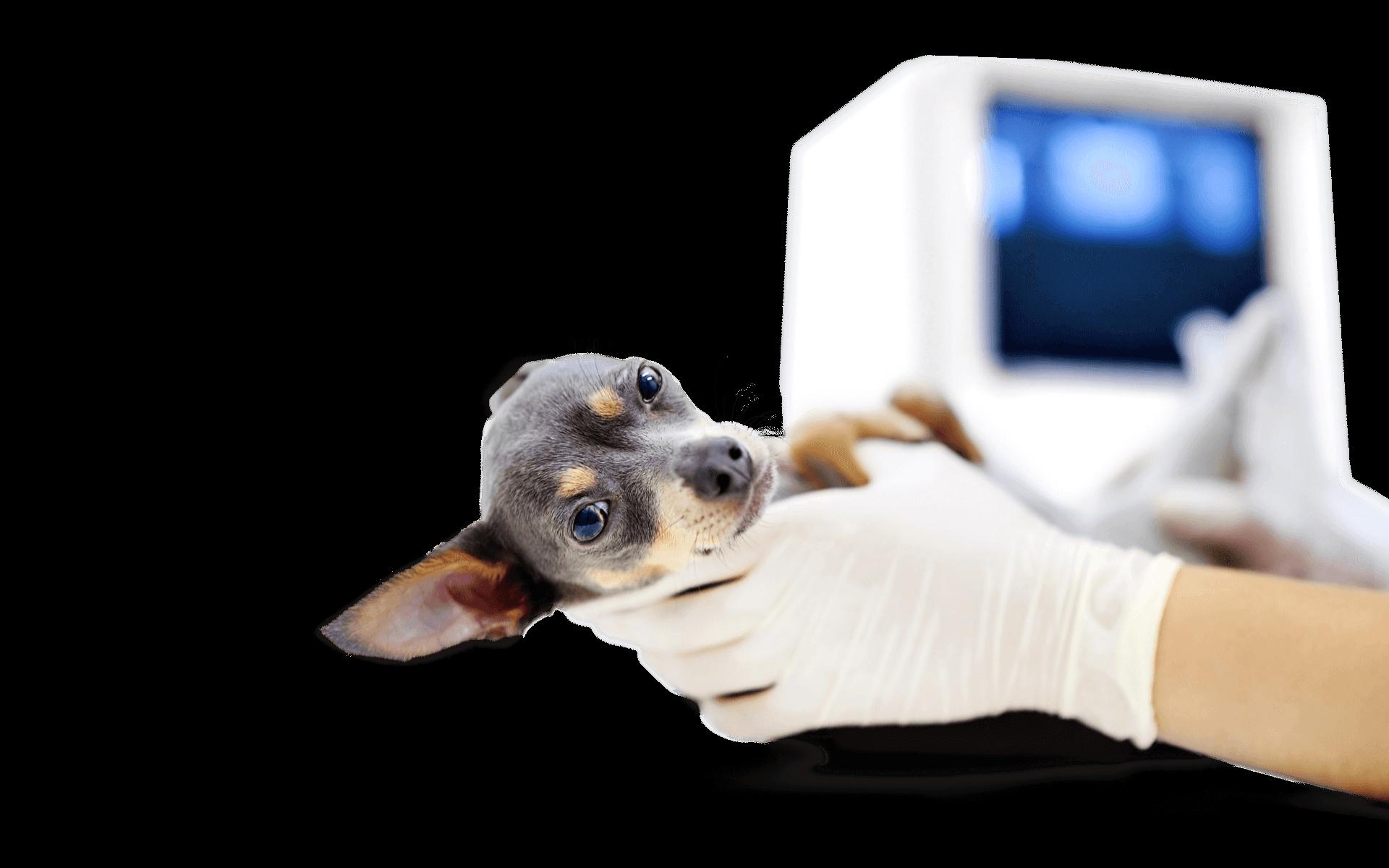Картинки узи собак