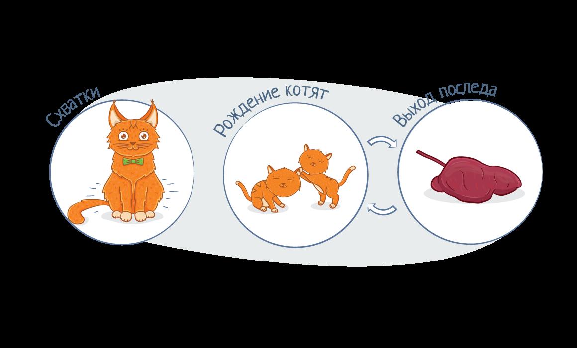 Фазы родов у кошек