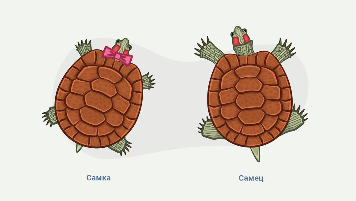 как узнать пол красноухих черепах